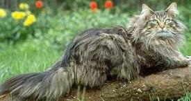 ...что она похожа на норвежскую лесную дикополосатую длинношерстную кошь.